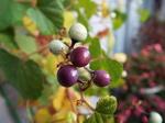紫の野葡萄