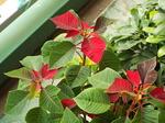 赤く発色したポインセチア