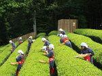 韮山反射炉茶畑の茶摘み