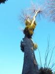 大木に寄生するヤドリギ(寄生木)