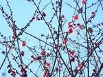 梅(紅花)
