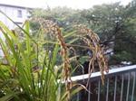 ベランダ園芸の稲