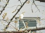 桜開花 2021.03.16