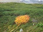 這松の中の黄葉