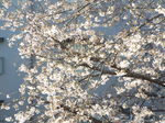 我が庭の染井吉野 2021.03.24