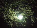 旧暦如月の十三夜の夜桜