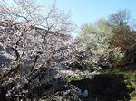我が庭の染井吉野と裏山の山桜 2021.03.26