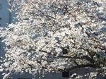 我が庭の染井吉野の大樹 2021.03.26