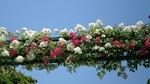 港の見える丘公園薔薇園の蔓薔薇