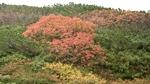 大雪山旭岳の紅葉