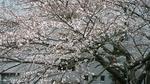 3月26日の染井吉野