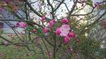 3月26日の花海棠