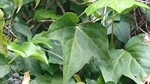 カクレミノの葉