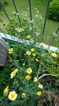 春菊とパクチーの花