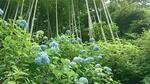 竹林と明月院ブルー