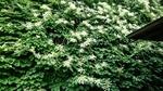 切り岸に咲くイワガラミ