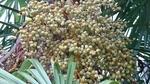 棕櫚の若い実