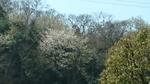 山桜咲く、三浦半島
