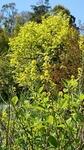菜の花と柿の新緑