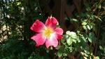 一重の園芸薔薇