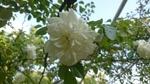 ローズ白花