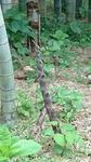 マダケ(真竹)の筍