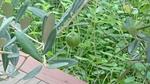 オリーブの青い実