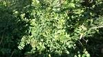 カラスノエンドウの若い芽