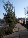 旧東海道保土ヶ谷宿松並木