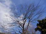 コナラの樹形