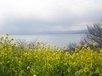 菜の花と相模湾