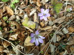 雪割草・紫