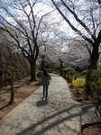 美しい桜道のお散歩