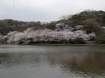 三溪園の染井吉野