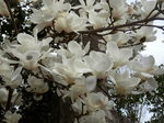 清来寺の白木蓮