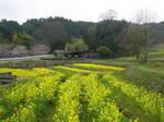 菜の花の棚田
