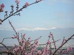 白峰三山と桃