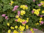 二色のオキザリスの庭