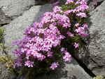 石垣のシバザクラ(芝桜)