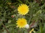 ハルノノゲシ(春の野芥子)