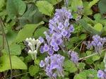 コバノタツナミ紫花