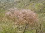 豆桜(富士桜)