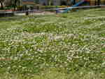 芝生に白爪草
