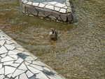 スズメが水浴び