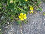 プラハの道端に咲く花