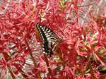 曼殊沙華の蜜を吸うアゲハチョウ