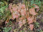 トキワイカリソウの草紅葉